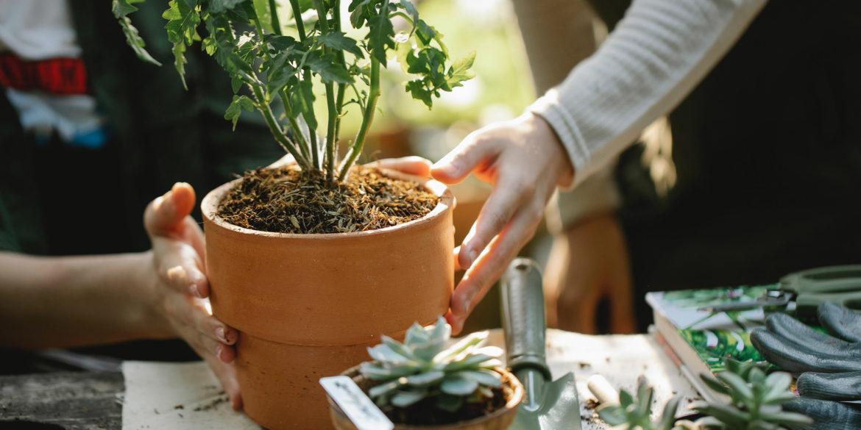 En terrakottakruka med en grön växt i som en tjej planterar i