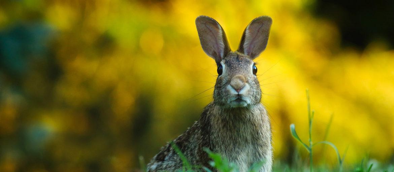 En kanin står i ett grönt gräs med gul raps i bakgrunden
