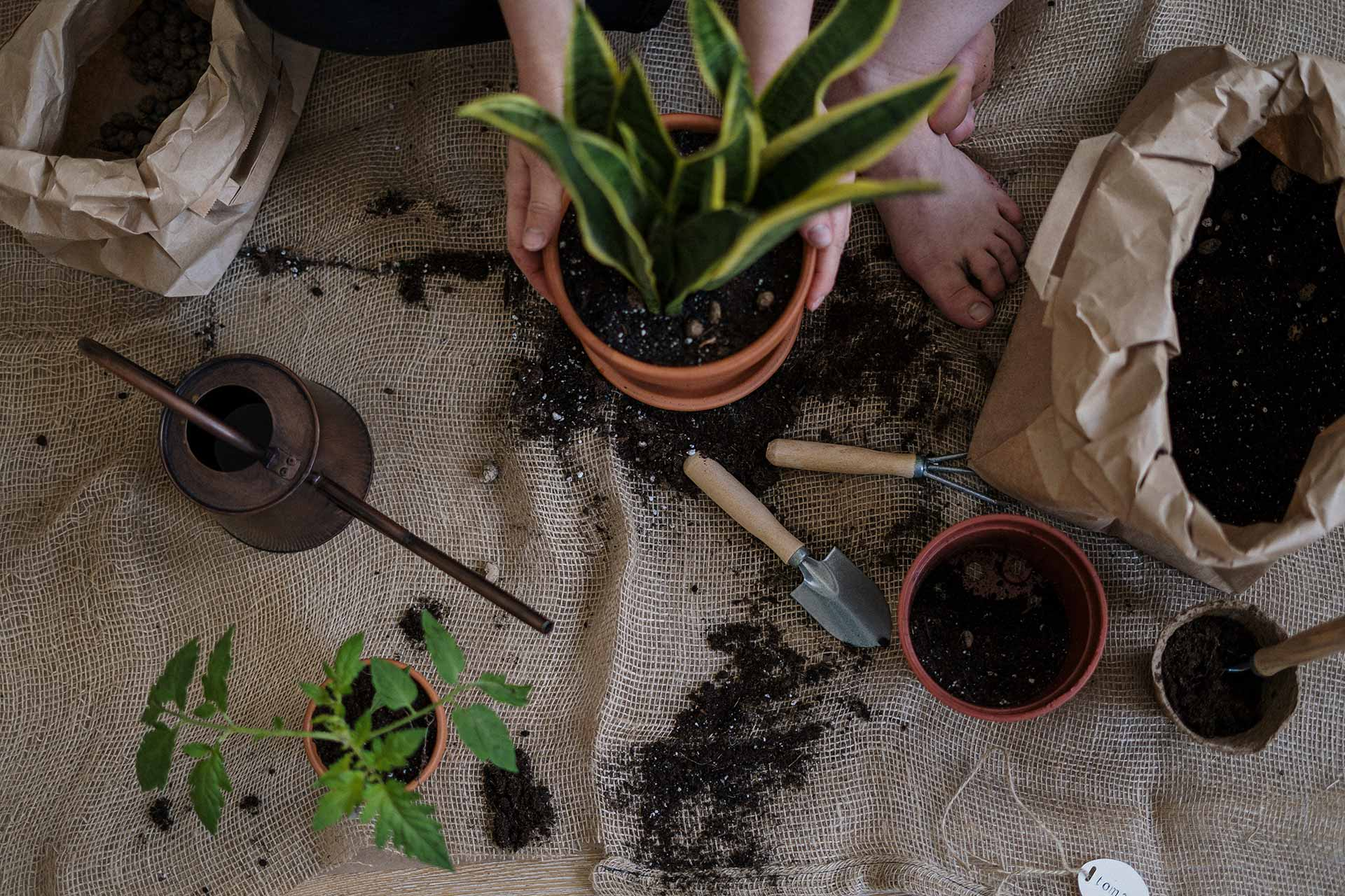 Efter några veckor när din stickling har växt till sig, så kan du plantera om den i en större kruka.