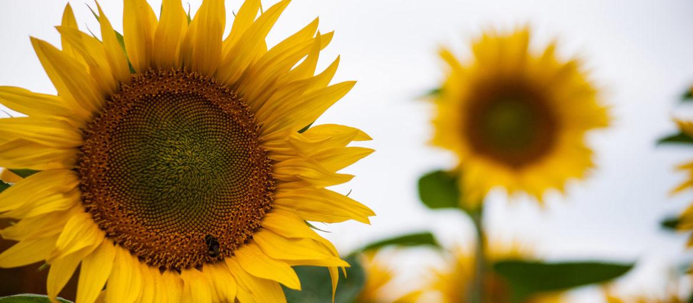 En gul solros i fullaste blom