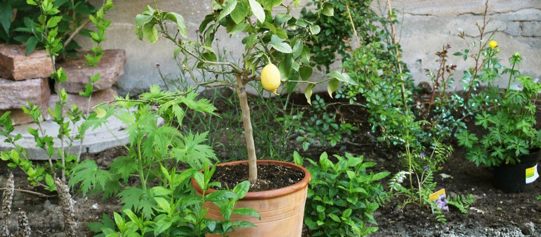 Bær og frukt som du kan dyrke på balkongen